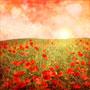 poppy-plains.jpg